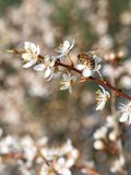 A bee pollinating white fresh flowers on a blooming fruit tree. Close-up, with copy space stock image