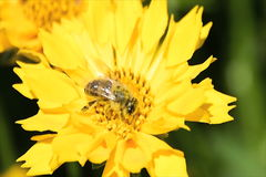 Bee pollinating a yellow daisy. Bee pollinating a yellow spring daisy stock video footage