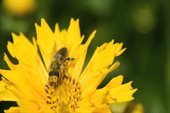 Bee pollinating a yellow daisy. Bee pollinating a yellow spring daisy