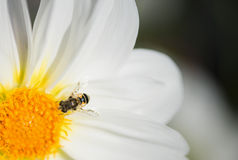 Bee pollinating. A yellow flower stock image
