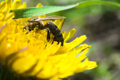 Bee pollinating on a yellow flower in the garden Stock Photo