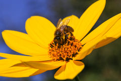 Bee Pollinating Yellow Rudbeckia Flower Blue Green Background Stock Image