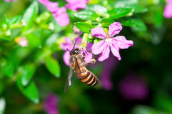 Bee Pollination Stock Photo