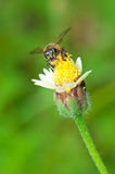 Bee Pollination Stock Photos