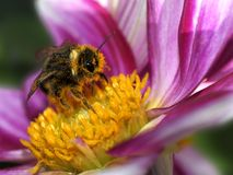 Bee and pollination Royalty Free Stock Images