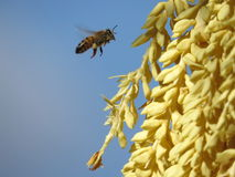 Bee pollination Stock Photography