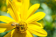Bee in pollination process Royalty Free Stock Image
