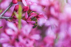 Bee polling pink flower almond dwarf in garden, spring time Royalty Free Stock Image