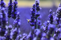 Bee : pollinisation in a lavande field, Provence. Blossoming lavender field, Valensole in Provence, France. Rows of purple and yellow flowers. Famous, popular royalty free stock photo