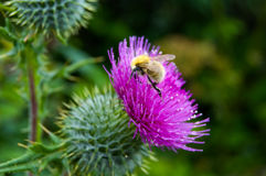 Bee pollonating a scotch thistle Royalty Free Stock Images