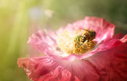 Bee on poppies rays of the sun Royalty Free Stock Photo