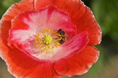 Bee on the poppy Stock Photos