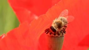 Bee on poppy box, closeup