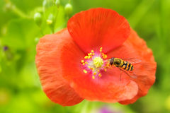 Bee and poppy flower Stock Images