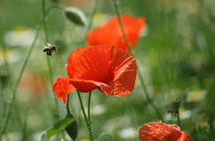 Bee and poppy flower Stock Image