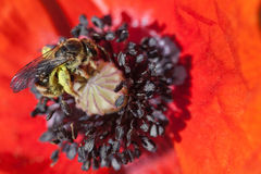 Bee in poppy flower Stock Photo