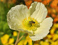 Bee on Poppy Stock Image