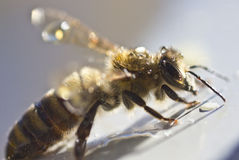 Bee preen Stock Image
