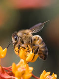 Bee profile. Honey bee on yellow flower collecting pollen Royalty Free Stock Image