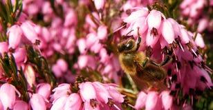 Bee on purple bloom Stock Photos