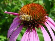 Bee on purple coneflower royalty free stock photos