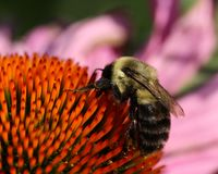 Bee on Purple Coneflower. Bumblebee on purple coneflower centre, macro photo showing close up spikes and bee extracting nectar and pollen.  Pollen on bee legs Stock Photography