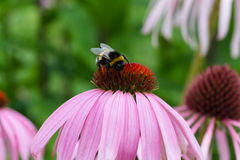 Bee on a purple coneflower Stock Photos
