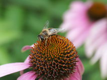 Bee on a purple coneflower Royalty Free Stock Image