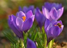 Bee on purple crocus flowers. Royalty Free Stock Image