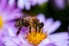 Bee on the purple diasy royalty free stock image