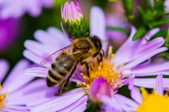 Bee on the purple diasy royalty free stock photo