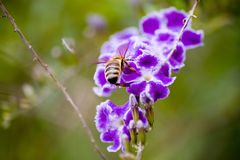 Bee on a purple duranta. Close up of a bee on a purple Duranta Stock Photos