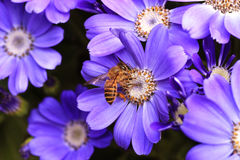 Bee on purple flower Stock Photography