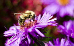 Bee on a Purple Flower Royalty Free Stock Photography