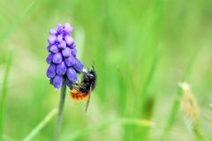 Bee on purple flower. Bee on a purple flower royalty free stock photo