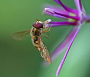 Bee on a purple flower. Close shot of a bee on a purple flower showing details of the eyes and wings Stock Photo