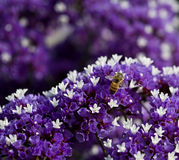 Bee on purple flower Stock Images