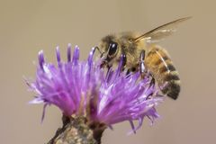 A bee on a purple flower stock images
