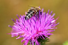 Bee on the purple flower Royalty Free Stock Images