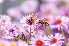 Bee on purple flower collect honey Royalty Free Stock Images