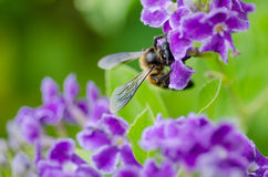 Bee Royalty Free Stock Image