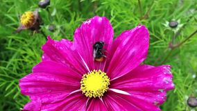 Bee on a purple flower. Bee collects pollen on a purple flower in a meadow where it has rained recently stock video footage