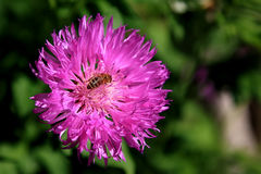 Bee on a purple flower. Green background Royalty Free Stock Photography