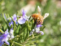 Bee on purple flower and green leaves, macro shot on sunny day. Royalty Free Stock Photos