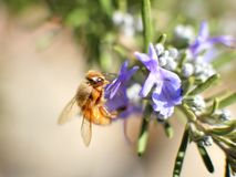 Bee on purple flower and green leaves, macro shot on sunny day. Stock Images