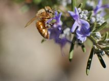 Bee on purple flower and green leaves, macro shot on sunny day. Stock Photography