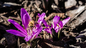 Bee on a purple flower. Bee licking purple flower in spring Royalty Free Stock Photography