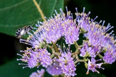 Bee and purple flower. Macro photography showing a close up view of beauty flora and fauna Royalty Free Stock Image