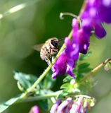 Bee on a purple flower on a morning sun. Image of a bee on a purple flower on a morning sun royalty free stock image