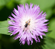 Bee on purple flower in nature. Bee sits on a purple flower in nature stock photography